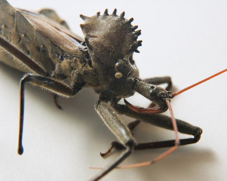 Wheel Bug  - Adult Carcass