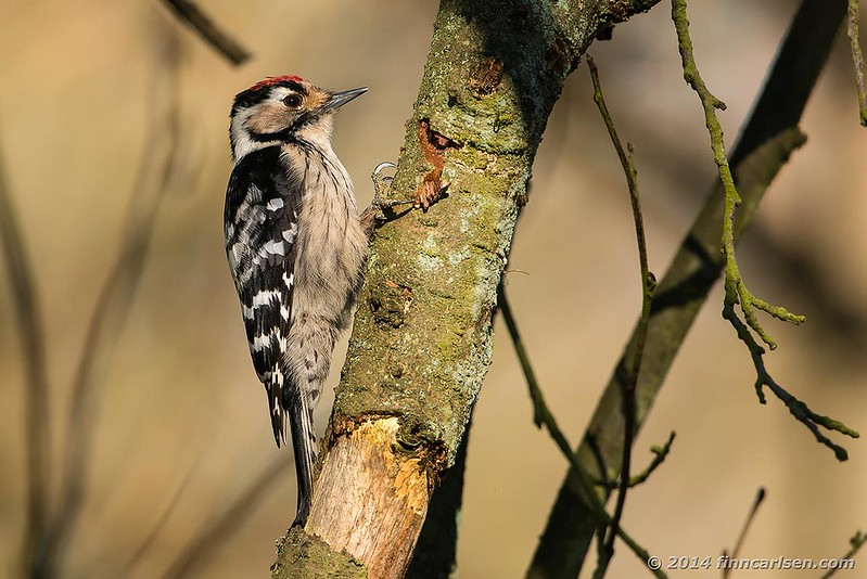 Lille flagspætte (Dendrocopus minor - Lesser Spotted Woodpecker)