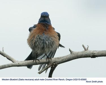 Western Bluebird M65995.jpg