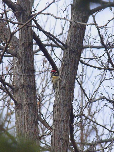 Woodpecker-007.JPG