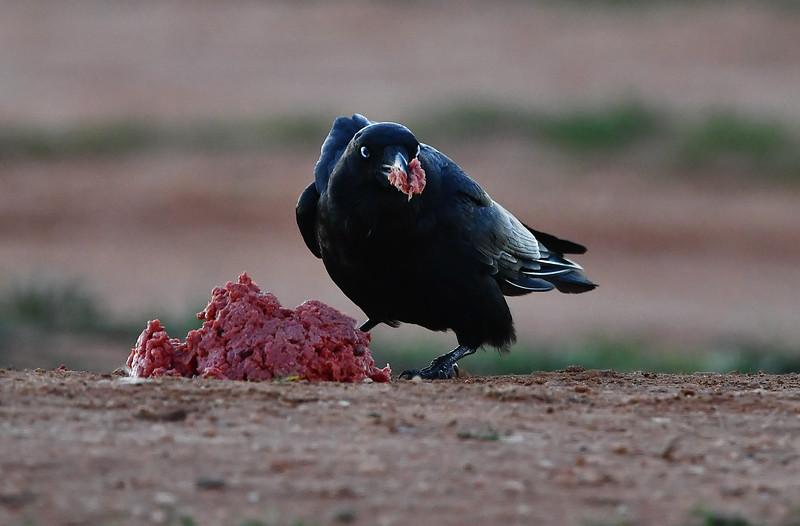 Crow and hawk