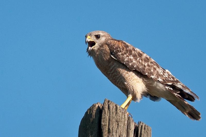 Red Shouldered Hawks Calling Loxahatchee South NWR Parkland, FL © 2012