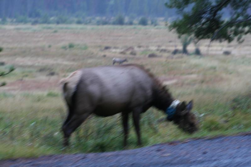 20080911-04 - Rocky Mountain NP - 01 (Fuzzy) Elk.JPG