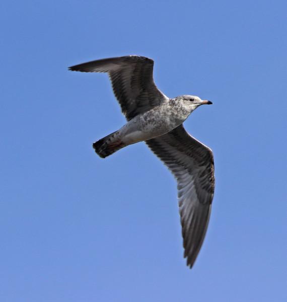 Ring-billed gull 5