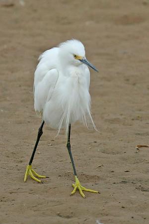 Snowy Egret, Gilbert, AZ