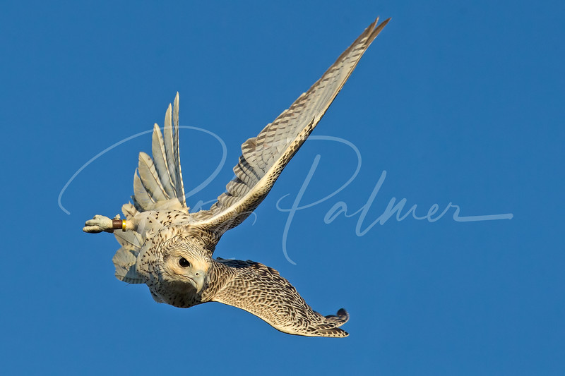 Gyrfalcon in pursuit