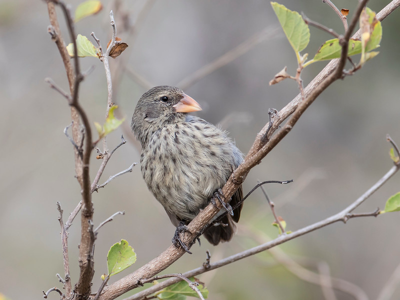 Small Ground-finch ???