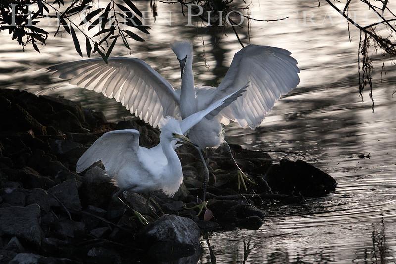 Snowy Egret juveniles Newark, California 1304N-SEJ