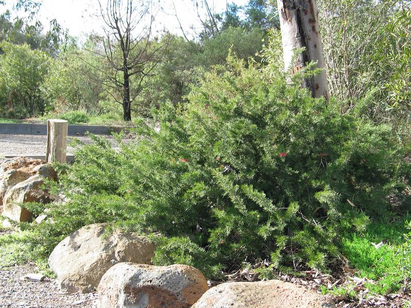 Grevillea rosmarinifolia / Rosemary Grevillea  Low spreading shrub (1-3 x 2-3m) flowering may to Sep.