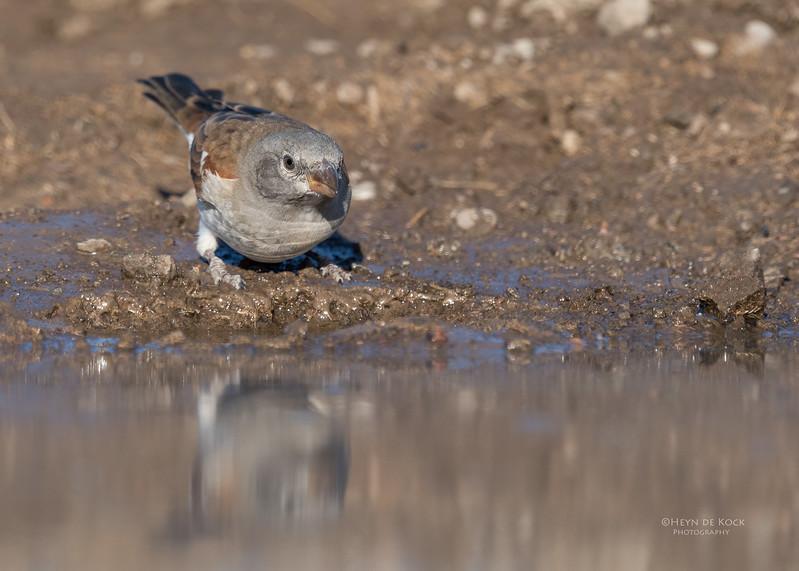 Southern Grey-headed Sparrow, Mashatu GR, Botswana, May 2017-2.jpg