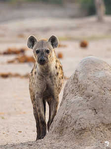 hyena Straight on