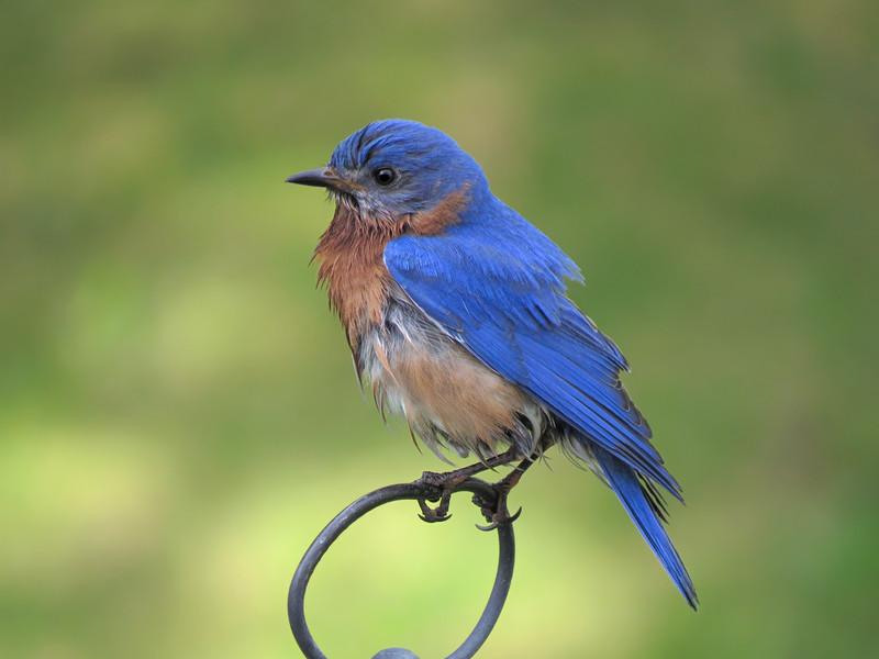 sx50_bluebird_ben_089.jpg
