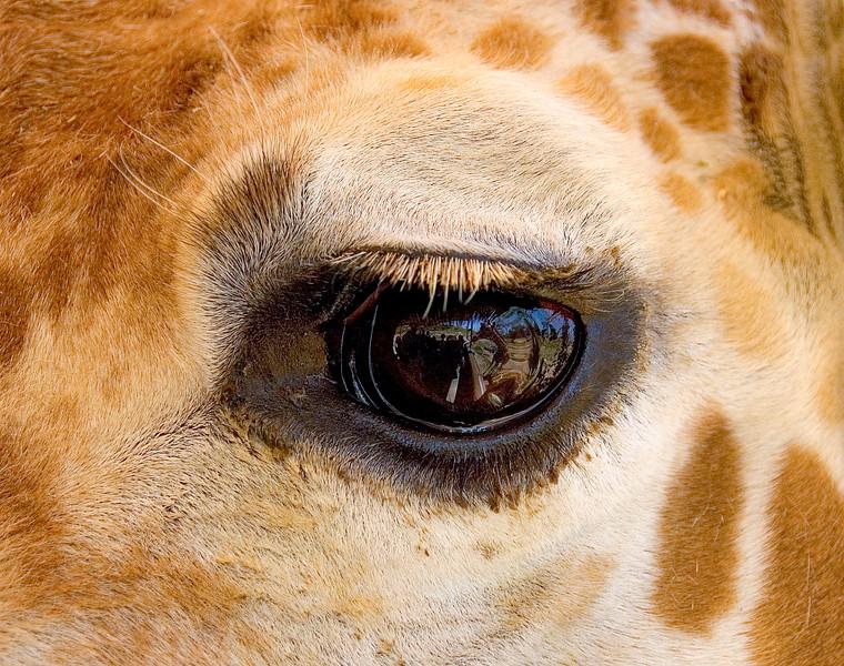 Giraffe-9.jpg