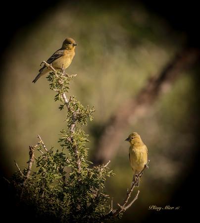 Lesser Goldfinch x 2_DWL0784-2.jpg
