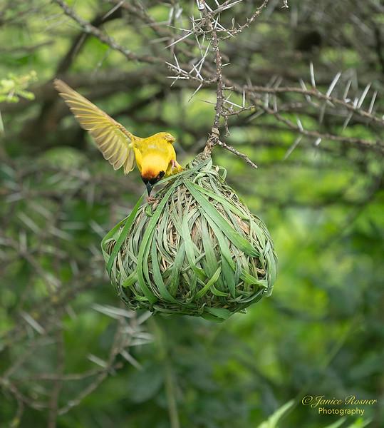Weaver Bird weaving nest
