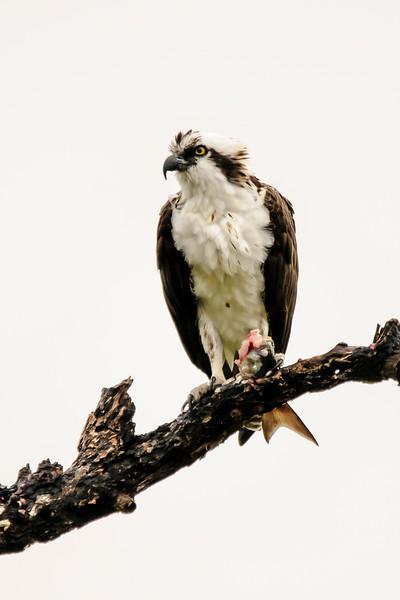 Osprey - Ding Darling NWR - Sanibel Island, FL
