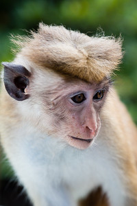 Monkey, Toque Macaque, in Sri Lanka