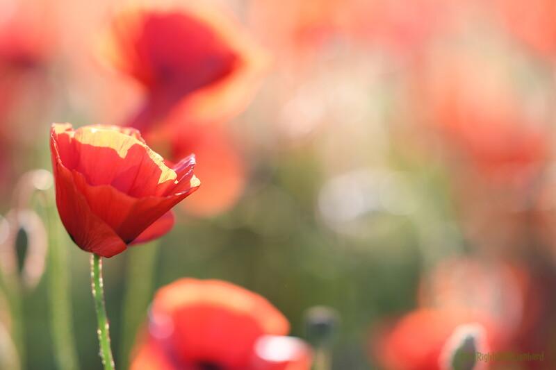 Poppys_Morges_08062019 (57).JPG