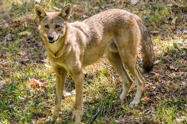 Endangered Wolf Center 2015