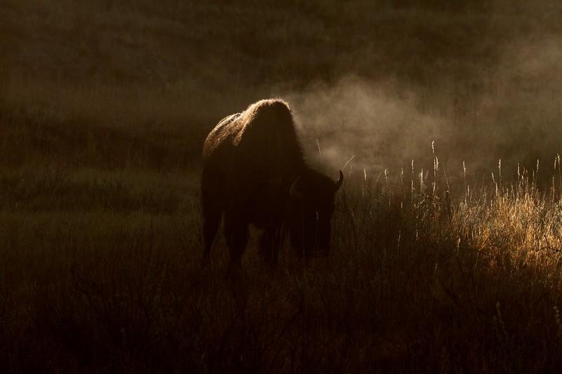 Bison Teddy Roosevelt National Park Medora ND IMG_6248.jpg