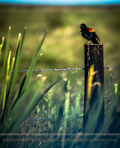Redwing Blackbird sings Out, Anahuac Refuge, TX