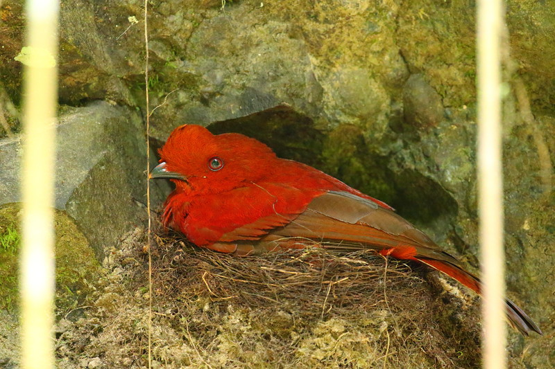 Cock-of-the-rock (female on nest)
