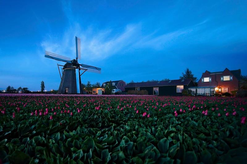Hogeveensemolen and its Tulips