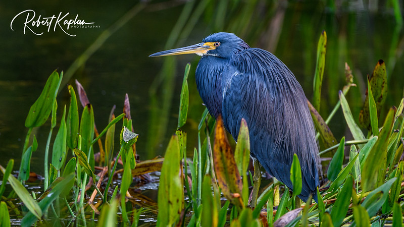 Tri colored Heron Portrait-9645.jpg
