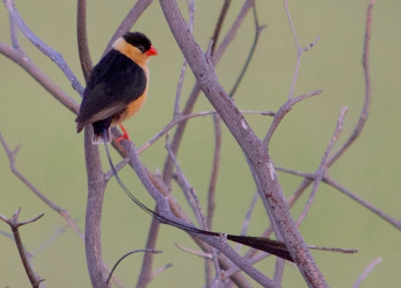 Male, Zambezi National Park, Zimbabwe