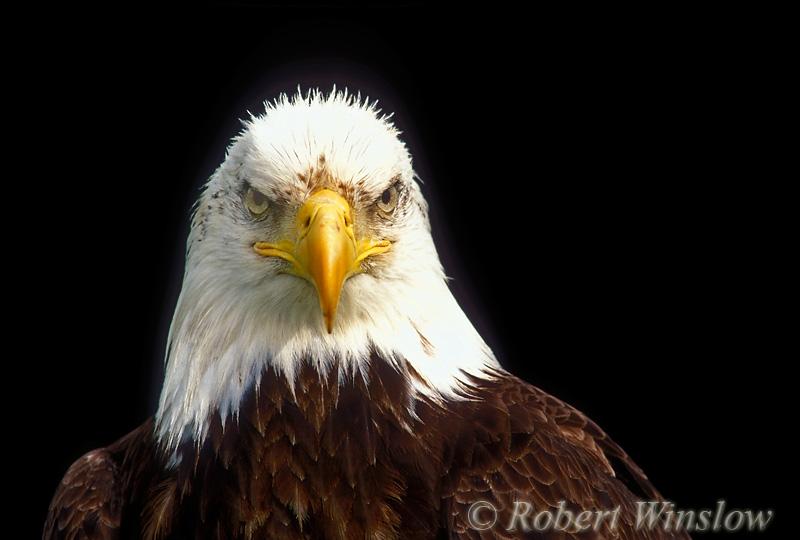 Bald Eagle (Haliaeetus leucocephalus), Controlled Conditions