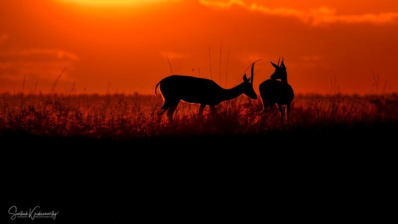 Gazelle-sunrise-Masai-Mara-sig-2.jpg