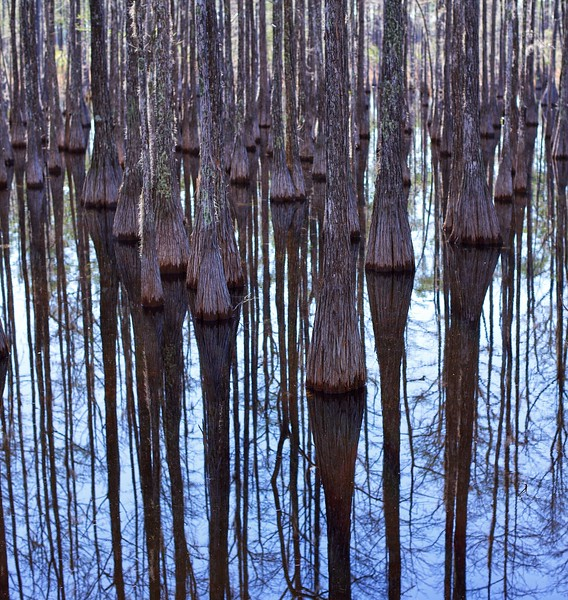 Bald Cypress Trees, South FL