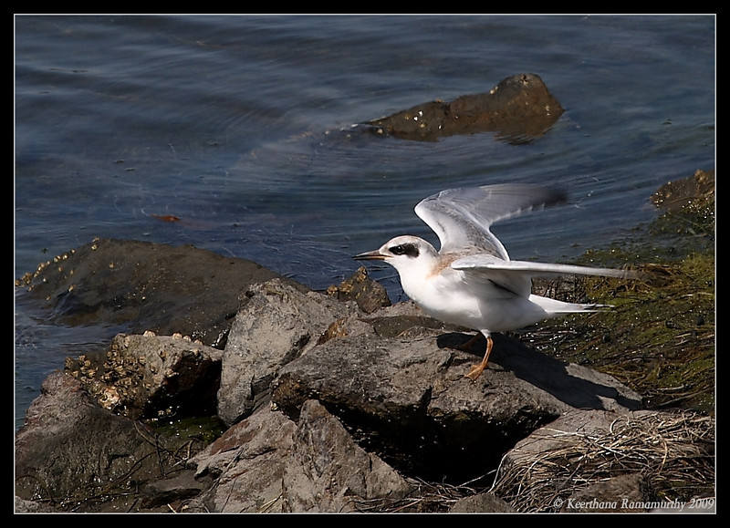 Juvenile Forster's Tern landed to get food from its parent, Robb Field, San Diego County, California, August 2009