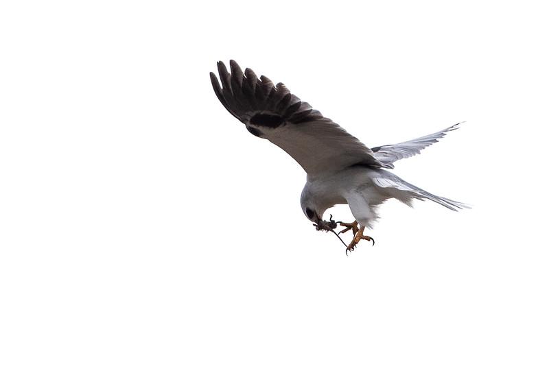 White Kite-3.jpg