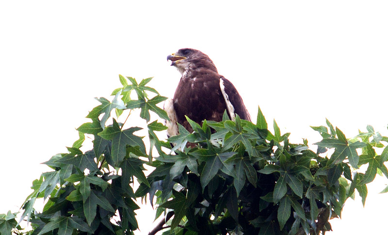 This swainson's hawk hung around near our yard for a few days.  It might even have been longer.  But it would call out and call out, then swoop to another nearby tree where it would call out more, then swoop back and keep doing that.  It was as if it was lost or had lost a friend and continued to search over and over.