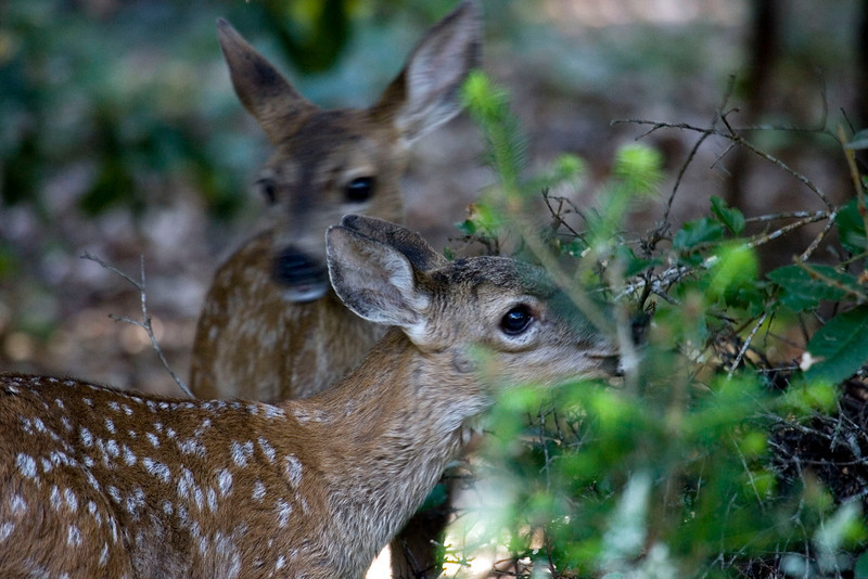Blacktailed deer fawns, Point Reyes 7/6