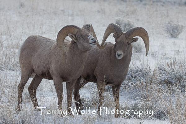 Sheep, Bighorn