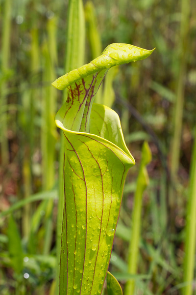 flava leaf.jpg
