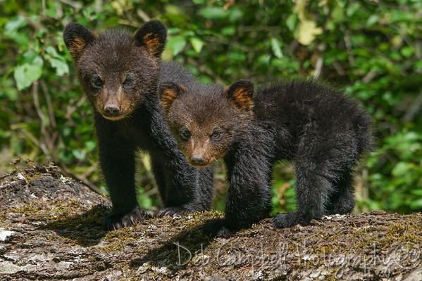 Smokies Black Bears~2017