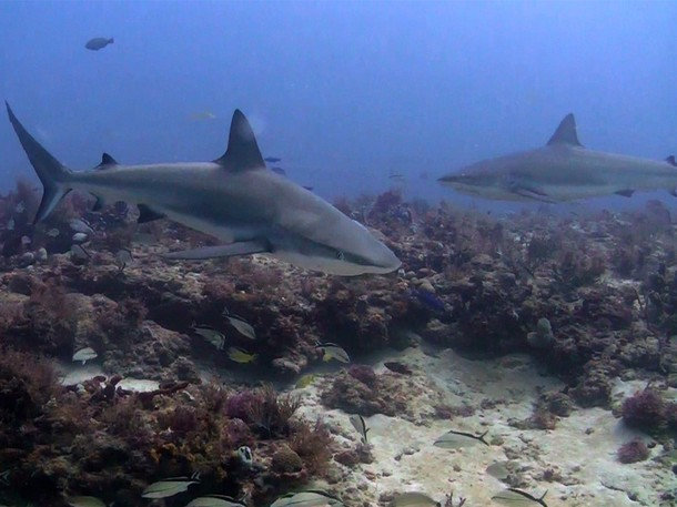 . Of the 307 known shark species, 50 are listed as vulnerable, endangered or critically endangered by the International Union for Conservation of Nature. (Photograph provided by National Geographic Channels)