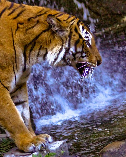 TigerWater001  .JPG