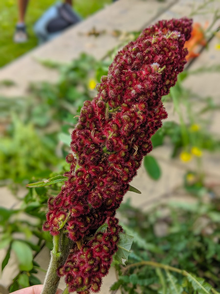 Burntcoat Head foraging sumac.jpg
