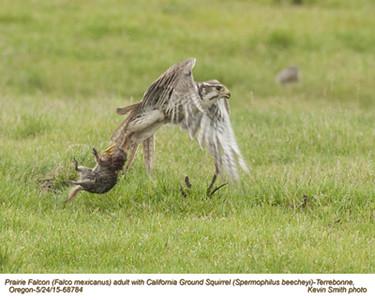 Prairie Falcon A & California Ground Squirrel 68784.jpg