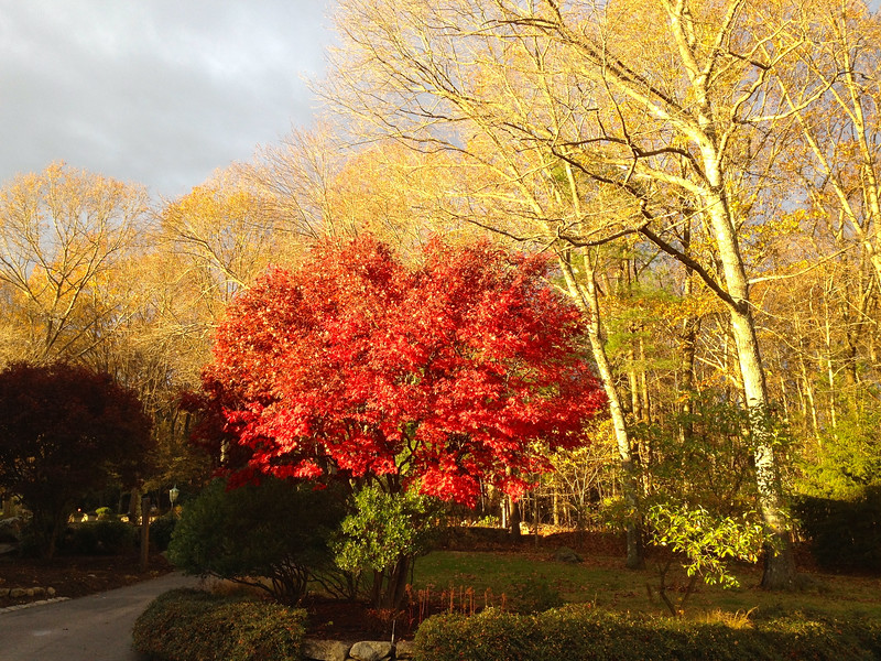 Maple Tree in  Early Fall