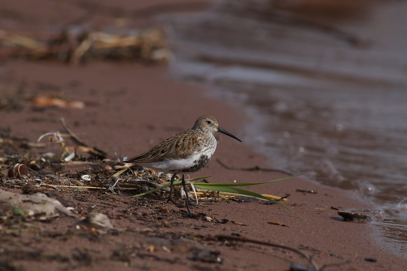 Dunlin Wisconsin Point Superior WI IMG_1410.jpg