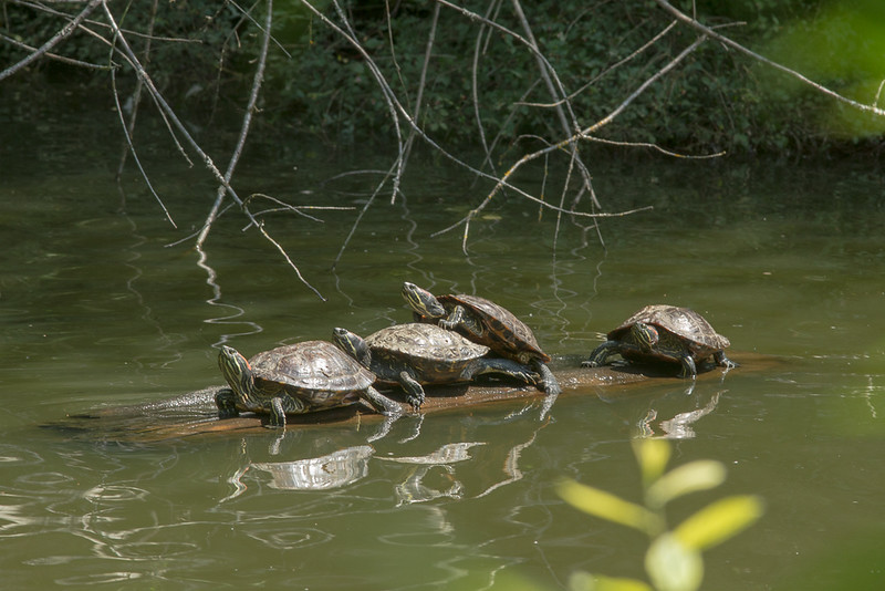 turtles on log.jpg