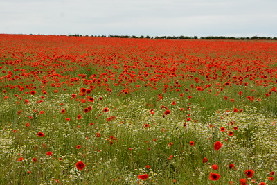 Poppies Elmswell 2018