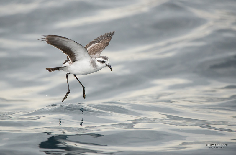 White-faced Storm Petrel, Wollongong Pelagic, NSW, Aus, Apr 2014-1.jpg