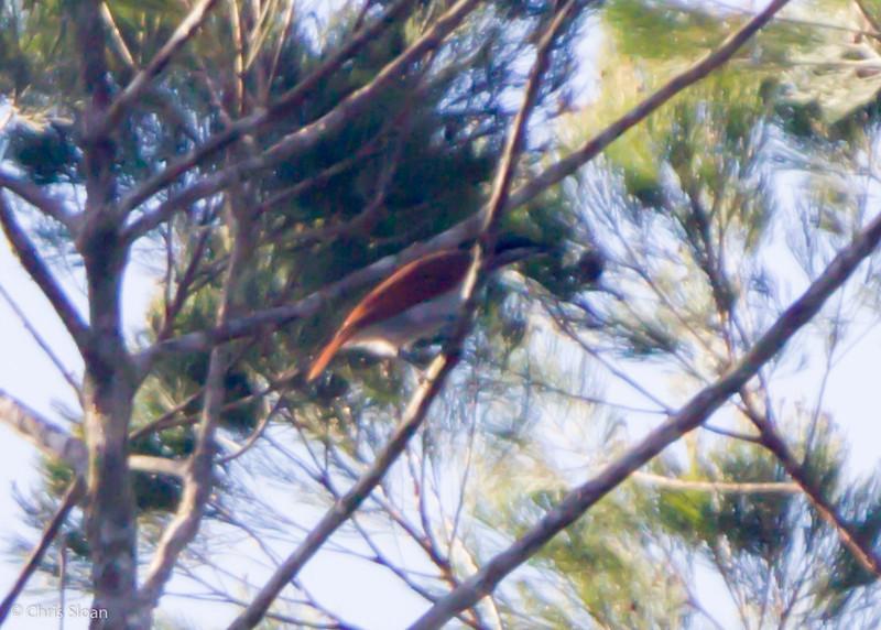 Magnificent (Growling) Riflebird female at Varirata National Park, Papua New Guinea (10-15-2013) 020.jpg