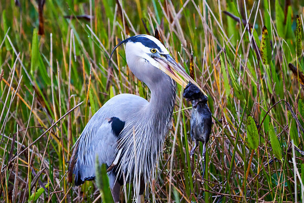 Heron Eats Muskrat Wakodahatchee Florida 2019